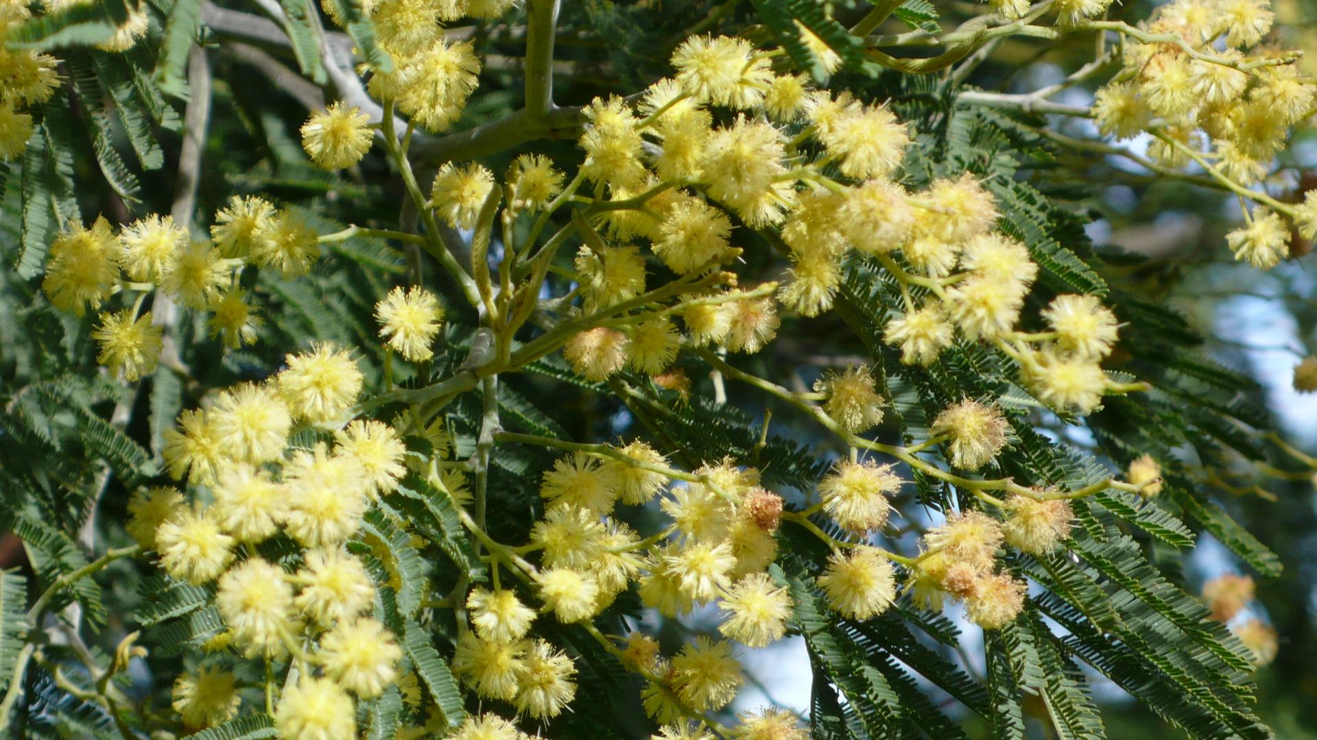 Wattle trees in bloom wattle lane - Trees that bloom yellow flowers ...